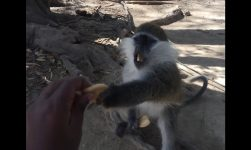 Feeding the Monkeys - ጦጣዎችን መመገብ -- Sodere